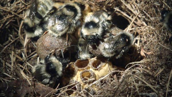 Bild 1 von 9: Noch nie gefilmtes Nest: grau-weiße Hochgebiergs-Hummel.